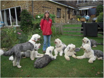 Old English Sheepdog Rescue Amp Welfare